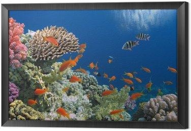 Tropikalnych ryb na rafy koralowej w Morze Czerwone