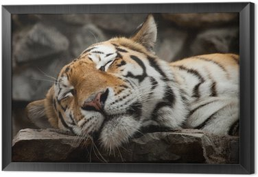 Spanie Tiger