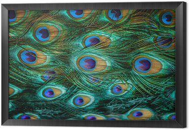 Kolorowe pawie pióra, płytkie dof