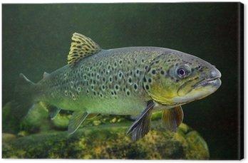 Podwodne zdjęcia The potokowy (Salmo trutta).