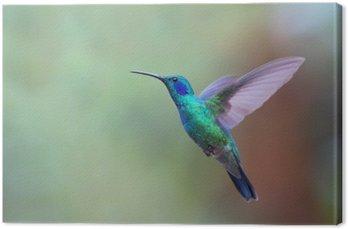 Green violetear hummingbird in flight in Costa Rica