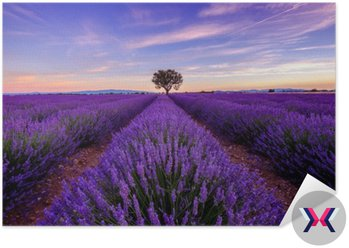 Drzewo w lawendowym polu o wschodzie słońca w Provence, Francja