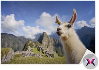 Lama w Machu Picchu, Peru