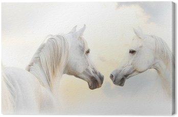 Arabian biały koń