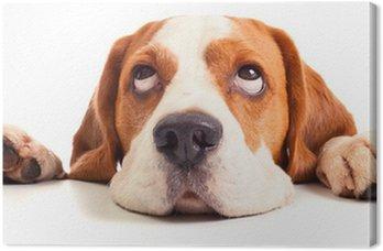 Głowa beagle samodzielnie na białym tle
