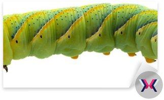 Sphinx caterpillar czaszka motyl