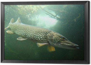 Podwodne zdjęcie dużego szczupaka (Esox lucius).