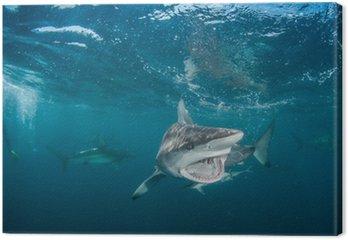 Tiger Shark z rekinami blacktip