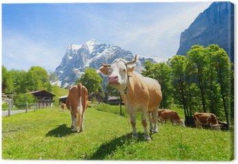 Stado krów