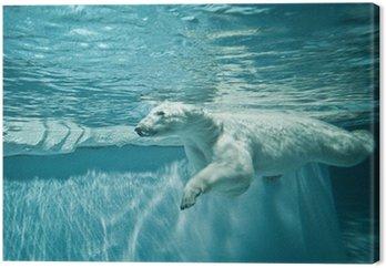 Thalarctos morza (ursus maritimus) - niedźwiedź polarny