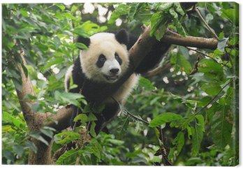 Panda wspinaczki drzewo