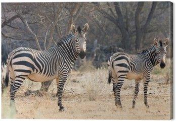 Krowa i Kitten - Hartmann Mountain Zebra