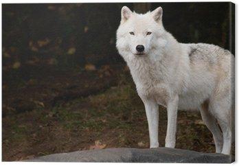 Arctic Wolf Patrząc na kamery