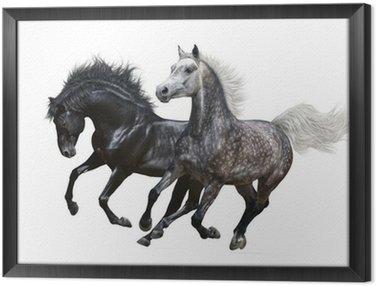 Dwa galop koni na białym tle