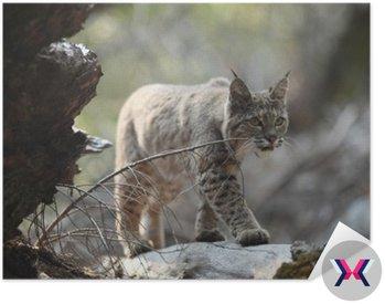 Polowanie Bobcat