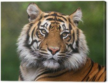 Portret Tygrys bengalski