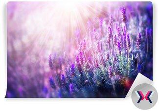 Kwiaty lawendy pola. rośnie i kwitnący lawenda