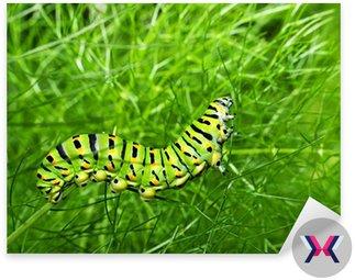 Swallowtail motyl karmienia caterpillar w kopru - nietypowy ma