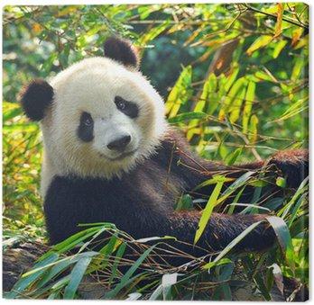 Głodny panda bear jedzenia bambusa