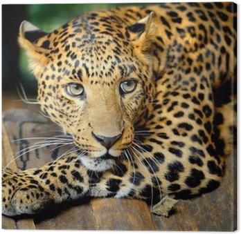 Portret leopard