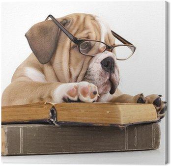 Czystej krwi Buldog angielski w okulary i książki
