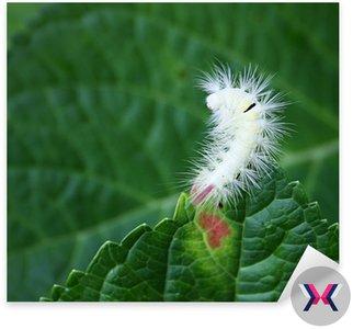 Włochaty różowy bielik caterpillar