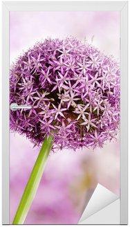 Allium, Purpurowe kwiaty czosnku