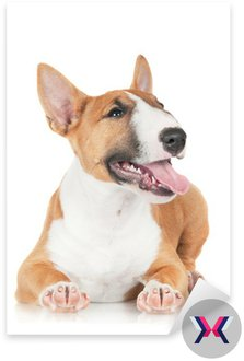 Happy red bull terrier puppy miniatura