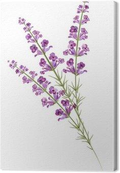 Lavender. Rysunek akwarela. Wektor