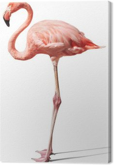 Flamingo na białym