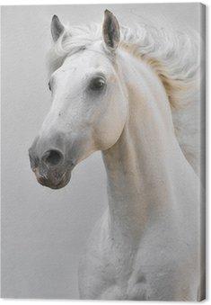 Biały ogier koń samodzielnie na szarym tle