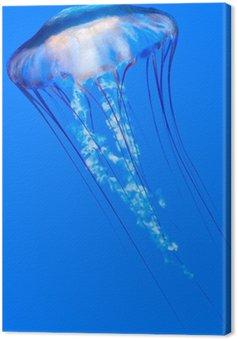 Pacific morze pokrzywy (Chrysaora fuscescens)