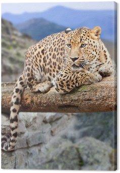 Leopard na obszarze dzikości