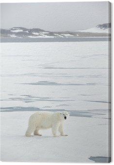 Niedźwiedź polarny na Svalbardzie