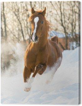 Red arabian stallion uruchamia galop w śniegu