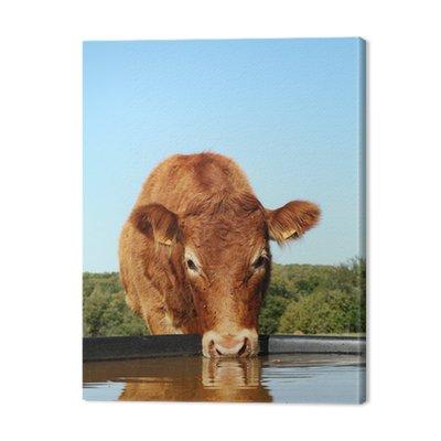 Picie z głową krowy Limousin Refleksji