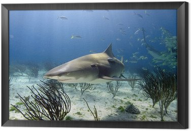 Lemon shark w słońcu promieni