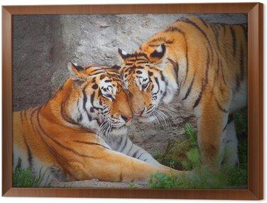 Tygrysie para. Miłość w przyrodzie.
