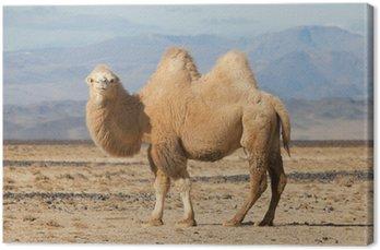 Bactrian camel w stepy Mongolii
