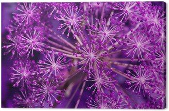 Angelica archangelica - fiolet