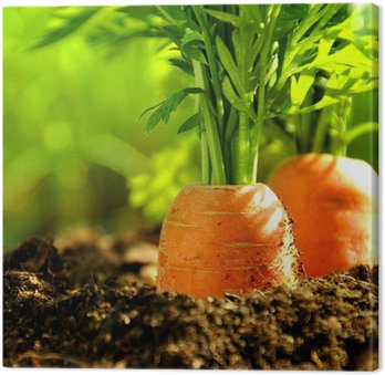 Karottenbeet