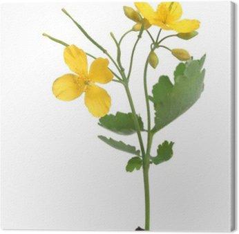 Glistnik jaskółcze ziele z kwiatami ponad biały