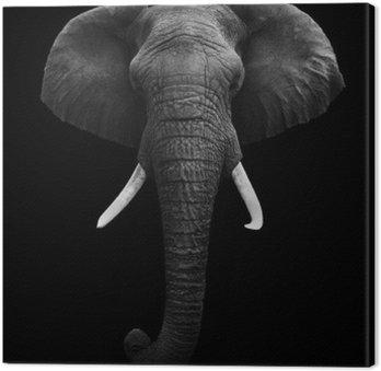 Słoń afrykański samodzielnie