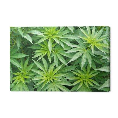 Roślin konopi marihuany