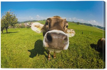 Krowa, zabawny nos fisheye bliska