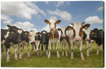 Zespół holenderskich krów