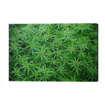 Młode rośliny konopi, marihuana