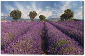Lawendowe pole w Prowansji, Francja