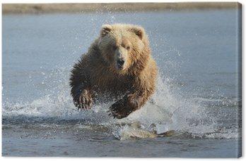 Grizzly Bear skoki na ryby