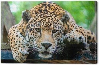 Jaguar Ameryki Południowej